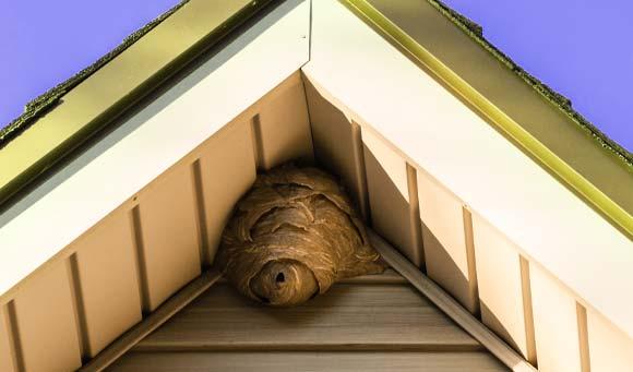 wasp pest in attic