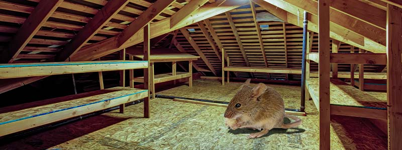 find out if you have mice in your attic